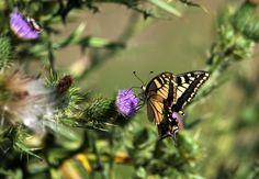 Macaone Sardo - 19 Agosto 2015 - Nikon D300 + Tamron 150/600 - 1/1600 sec. - ISO-200 - 600mm f/6.3 - Riola - #guidofrilli - Papilio machaon Linnaeus, 1758