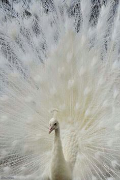 They are not considered albino because they are simply just white. They do not possess the albino gene. A white animal and an albino one are completely different things in the genetic makeup. Pavo Real Albino, Albino Peacock, Peacock Tail, Amazing Animals, Majestic Animals, Beautiful Birds, Animals Beautiful, Animals And Pets, Funny Animals