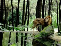 Taman Safari,Prigen,East Java,Indonesia.Animals roam free in their natural habitat while visitors view them from their cars.Highlight:picture-taking with baby lions,tigers or orangutans
