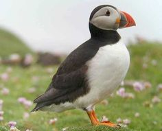 Atlantic Puffins- Atlantic Puffins are so very cute wit their colorful beak and unique body shape. The lovely grey and white feathers are perfectly accompanied by the orange beak and legs.