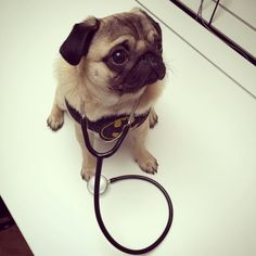 New TV show idea... Pug Doctor - saving lives one snort at a time #puglife