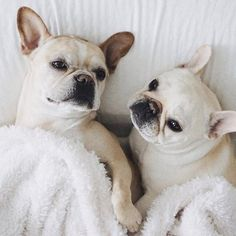 """Are you gettin' up today?""... ""are you nuts"", Piggy and Polly, 2 very Lazy French Bulldogs, @piggyandpolly on instagram"