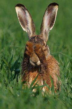 Hare having a wash!