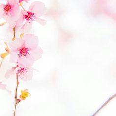 【sm.zoo】さんのInstagramをピンしています。 《. . Location:Shizuoka . #空#sky#カコソラ #桜#さくら#サクラ #cherryblossom#pink #春#spring#河津桜#flower #IGersJP#team_jp_#BNS_JAPAN #far_eastphotography #Japan_daytime_view #s_shot#東京カメラ部 #japan_of_insta #ニコン#Nikon #ファインダー越しの私の世界 #写真好きな人と繋がりたい》