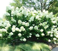 Gee Hydrangea 10 20 Tall Wide Deciduous Blooms In Midsummer Plant Full Sun Or Part Shade Soil That S Acidic And Keep Moist Fast Growing