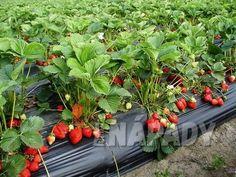 Gladioli, Strawberry, Veggies, Garden, Plants, Vegetable Recipes, Garten, Vegetables, Lawn And Garden
