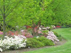 perenial border with trees and azaleas--needs pine straw