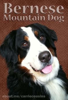 Bernese Mountain Dog. Model is my berner, Karma.