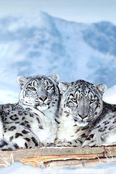 Nature calms you down - Snow friends - Leopards ❤❥*~✿Ophelia Ryan✿*~❥❤