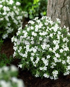 LITHODORA diffusa 'Alba' - Stenfrø, farve: hvid, lysforhold: sol, højde: 10 cm, blomstring: maj - juli.