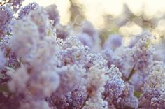 Lilac haze {explored} (by baby, picture this) Purple Flowers, Beautiful Flowers, Beautiful World, Simply Beautiful, Beautiful Things, Pretty Pictures, Wedding Flowers, Wedding Fun, Dream Wedding