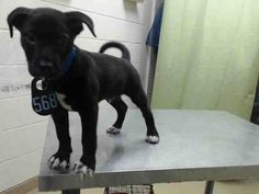 05/20/16--HOUSTON- -EXTREMELY HIGH KILL FACILITY -This DOG - ID#A459540 I am a male, black and white Labrador Retriever and Pit Bull Terrier. My age is unknown. I have been at the shelter since May 20, 2016. This information was refreshed 3 minutes ago and may not represent all of the animals at the Harris County Public Health and Environmental Services.
