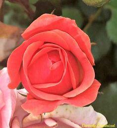 epsom salt in the rose garden, flowers, gardening, pest control