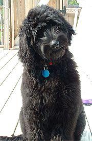 Coat Types of Goldendoodles Black Goldendoodle Dogs
