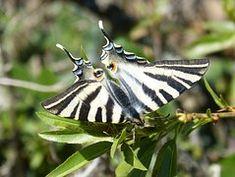 Papillon, Flambé, Chupaleche, Polidario