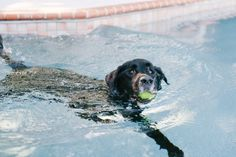 © Britt Croft Photography | Daily Dog Tag | Senior-Black-Lab-swimming