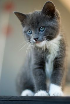 Grey Kitten with White Paws Cats are soooo cute!