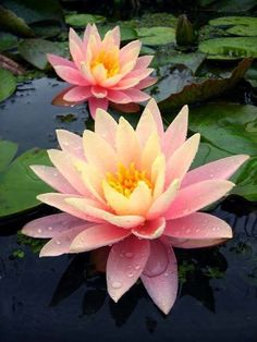 lotus flower Colorado Hardy Peach water Lily The flowers of Colorado are more yellow with pink at their base each spring. Then, as the season progresses, the amount of pink