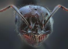 Reina de Messor, hormiga del grano