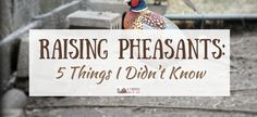 Raising Pheasants: 5 Things I Didn't Know - A Farmish Kind of Life Pheasant Run, Raising Pheasants, Black Soldier Fly, Chicken Chick, Game Birds, Down On The Farm