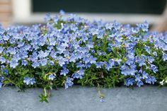 Kertünk ékei: a legszebb kék színű virágok - Lakáskultúra magazin