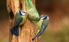 Blaumeisen sind farbenprächtige und niedliche Gesellen, die man nur zu gerne an Futterstellen beobachtet