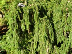 The Weeping Norway Spruce (Picea abies 'Pendula') is a great evergreen accent with weeping spreading branches. It is an unusual weeping cultivar of the Norway spruce and is an irregularly shaped evergreen whose form will vary considerably depending upon its early training.   http://hoosierhomeandgarden.com/weeping-norway-spruce/