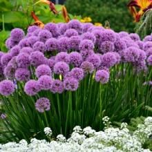 Allium Millenium is a fantastic ornamental onion that unlike its fall-planted relatives, has attractive foliage and rose-pink globe-like flowers in mid summer Purple Perennials, Flowers Perennials, Sun Plants, Garden Plants, Flower Gardening, Purple Flowers, Pink Roses, Spring Flowers, Gardens