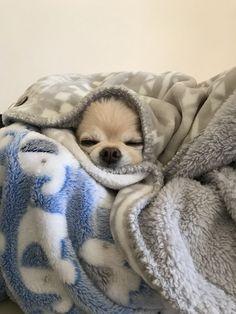 Chihuahua #chihuahua