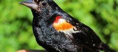 My Red-Winged Blackbird Blackbird, Wildlife, Wings, Red, Animals, Animales, Animaux, Animal, Feathers