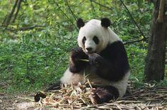 Giant Panda Channel