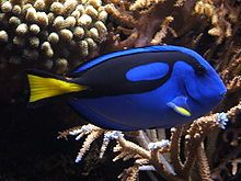 """Before """"Finding Nemo,"""" this was known as a Blue Tang.  Now it's known as Dory."""