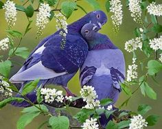 Pigeon is a beautiful bird in our country. Her meat is very testy. Kinds Of Birds, All Birds, Love Birds, Pretty Birds, Beautiful Birds, Animals Beautiful, Nature Animals, Animals And Pets, Cute Animals