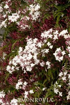 Pink Jasmine - Fast-growing evergreen vine prized for its spectacular display of intensely fragrant pinkish-white flowers. Use as a climber over trellis or arbor, groundcover or in containers. Backyard Plants, Landscaping Plants, Garden Plants, Backyard Ideas, Fast Growing Vines, Fast Growing Evergreens, Pink Jasmine, Jasmine Vine, Beautiful Gardens