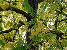 Park, Black Walnut, Tree, Park Tree #park, #blackwalnut, #tree, #parktree