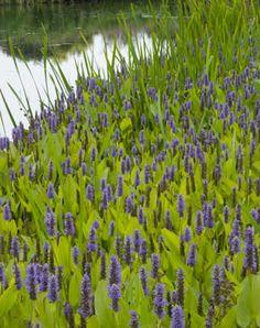 Pontederia cordata - snoekkruid Garden Pond, Water Garden, Pond Plants, Ecology, Outdoor Living, World, Nature, Allotment, Planting