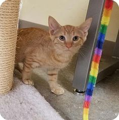 Trenton, NJ - Domestic Shorthair. Meet Sarabi, a kitten for adoption. http://www.adoptapet.com/pet/16961026-trenton-new-jersey-kitten