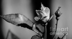 Rose Black and White by Andrea Anderegg