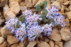 Corydalis melanochlora - Province Yunnan - China