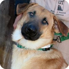 Walnut Creek, CA - German Shepherd Dog Mix. Meet Ritter a Dog for Adoption.2-year-old RITTER ~  is a calm, sweet guy who loves to hang out with his favorite people and go for mellow walks. He is polite, gentle, and friendly, and will follow you anywhere!