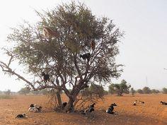 Goats on Argan Tree -    Marocco strada Marrakech Essouira Ottobre 2013 Canon rebel xi...