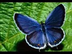 Explore the world of Butterfly Symbolism, Butterfly Totem, Butterfly Meaning, Butterfly Dream, and Butterfly Messages. Karner Blue Butterfly, Big Butterfly, Butterfly Pictures, Butterfly Cookies, Butterfly Drawing, Most Beautiful Butterfly, Beautiful Birds, Animal Wallpaper, Nature Wallpaper