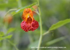 Jewel Weed Vermont wildflower