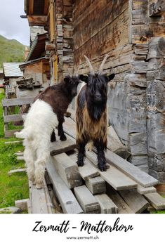 Zermatt – Matterhorn: In Zermatt, every family day has the potential to be perfect. We've prepared some helpful tips on how to create your perfect family day. You can even meet some goats on your way! #Zermatt #Matterhorn Family Ski Holidays, Family Day, Zermatt, Tour Operator, Family Adventure, Family Activities, Helpful Tips, Goats, Tourism