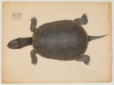 Drawing of top view of turtle and cross section of head (16 x 30 cm., 2 x 3 cm.) Repository: Ernst Mayr Library, Museum of Comparative Zoology, Harvard University Call number: bAg 168.60.10 (10)i