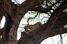 An endangered species, leopards are skillful climbers and often drag their food into trees to protect it from scavengers like hyenas and black-backed jackals.  Serengeti National Park, Tanzania Africa, October 201 3