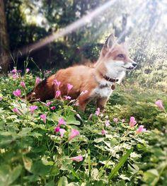 Juniper the Red Fox by juniperfoxx