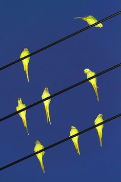 A selection of wonderful images by Tokyo based photographer, Yoshinori Mizutani. Yoshinori began photographing the parakeets to document the strange and rare occurrence of the swarming green birds.