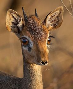 "Do you know what I am ? A relative of the antelope 🦌, I live in eastern and southern Africa . Believe it or not, these are my real eyelashes. Extremely diminutive, I stand only 12-16"" tall. I am a Dik-dik ."