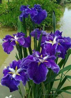 Beautiful purple Iris flowers for you 💜 Purple Flower Names, Purple Iris Flowers, Flowers Nature, Exotic Flowers, Amazing Flowers, Beautiful Flowers, Daffodils, Tulips, Purple Garden